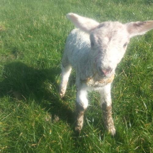 Roberta our pet lamb